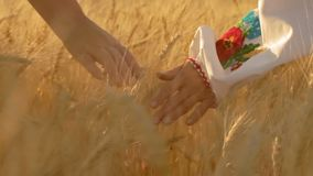 Close-Up, Slow Motion, At Dawn The Hands of Two Rural Women Walking in the Field Stroking Growing Wheat Spikelets. Close-Up, Slow Motion, The Hands of Two Rural stock video footage