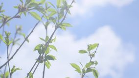 First Spring Gentle Leaves. Close up slow motion shot of the first spring gentle leaves, buds and branches against background with blue cloudy sky stock footage