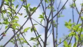 First Spring Gentle Leaves. Close up slow motion shot of the first spring gentle leaves, buds and branches against background with blue cloudy sky stock video footage
