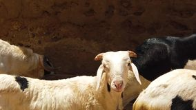 Close up slow motion video of spotted white goats in the street of city in Africa
