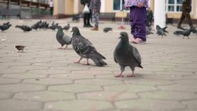 Close up and slow motion view of wild pigeons walking and flying on city square. Wild life concept stock video