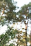 Close up slow moving shot of pine tree`s needles - Green forest of Baltic country Latvia stock photo