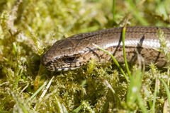 Close up of a slow worm (Anguis fragilis) Stock Photo