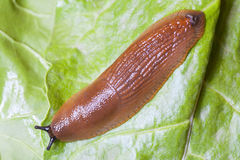 Close up of slug on green leaves Royalty Free Stock Photos