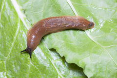 Close up of slug on leaves Stock Photo