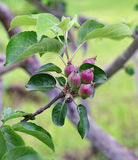 Close up of small apples on tree branch in spring Royalty Free Stock Image