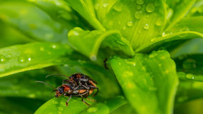 A close up of the small beetle chafer on grass-blade with drops of dew. Background. Royalty Free Stock Photos
