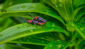 A close up of the small beetle chafer on grass-blade with drops of dew. Background. Stock Image