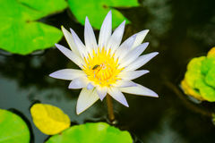 Close up small blooming white lotus in the pond with aphid on carpel Royalty Free Stock Photo