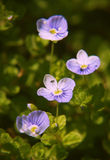 Close up of small blue flowers in the garden Stock Photography
