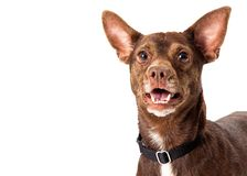 Free Close-up Small Breed Brown Happy Dog Stock Photography - 161122942