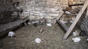 Small chicken. Close up of small chicken inside of an old chicken coop made of stone with some of them sitting on a roost stock video