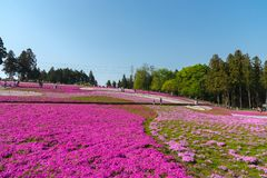 Close-up Small Delicate Pink White Moss Shibazakura, Phlox Subulata Flowers Full Blooming On The Ground In Sunny Spring Day Stock Photography