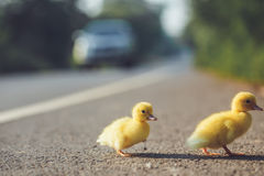Close up small duckling on the asphalt road Royalty Free Stock Images