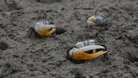 Close up of small fiddler crabs crawling in mud