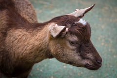 Close up of a small goat Royalty Free Stock Image