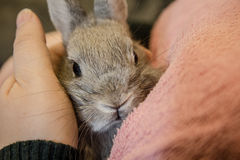 Close up of a small gray bunny sitting on young girl lap and loo Royalty Free Stock Image