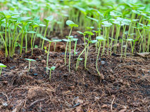 Close up small green basil and chilli sprouts Royalty Free Stock Photo