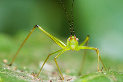 Small Green Leaf Katydid Stock Photos