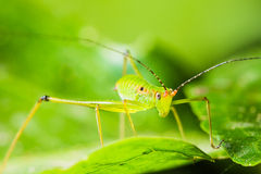 Small Green Leaf Katydid Royalty Free Stock Photo