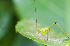 Small Green Leaf Katydid Stock Image