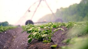 Close-up. Small green potato bushes grow in soil, in rows, on agricultural field, irrigated by a special watering pivot. Sprinkler system. growing potato. warm stock footage