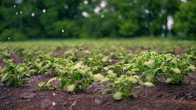 Close-up. small green potatoe bushes grow in soil, in rows, on agricultural field, irrigated by a special watering pivot. Sprinkler system. growing potato. warm stock footage