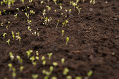 detail of small seedlings growing on soil Stock Photo