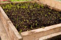 detail of small seedlings in box Royalty Free Stock Images