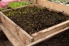 detail of small seedlings in greenhouse Stock Image