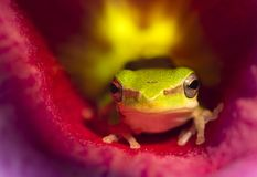 Green Tree Frog In An Allamanda Flower royalty free stock image