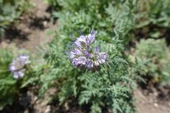 Closeup of small lavender colored flowers of Phacelia tanacetifolia. Close up of small lavender colored flowers of Phacelia tanacetifolia Stock Photography