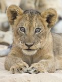 Close-up of a small lion cub lay down to rest on soft Kalahari s. Close-up of a small lion cub lay down to rest on the soft Kalahari sand Stock Images