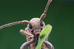 Small longhorn beetle. Close-up of a small longhorn beetle Stock Photos