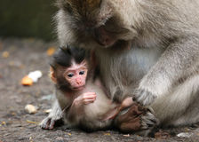 Close-up of small monkey and his mother Royalty Free Stock Images