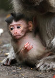 Close-up of small monkey and his mother Royalty Free Stock Image