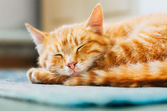 Close up of Small Peaceful Orange Red Tabby Cat Male Kitten Curl Royalty Free Stock Photos