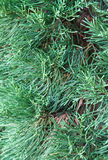 Close up of small pine tree. In the christmas party Royalty Free Stock Photo