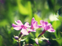 Close up of small pink flower Stock Photography