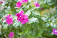 Close up of small pink geranium. Close up of pink geranium stock photography