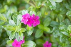 Close up of small pink geranium. Close up of pink geranium royalty free stock photography