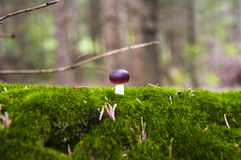 Close up of a small russule mushroom on the moss c Royalty Free Stock Images