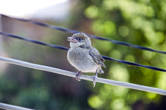 Close up of small sparrow. In spring Royalty Free Stock Image