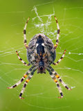 A close-up of small spider weaving its web Royalty Free Stock Photo