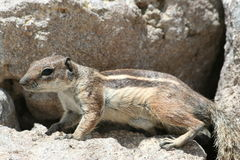 Close up of small squirrel. A close up view of a small squirrel standing in a sandy spot next to a crevice between to rocks Stock Images