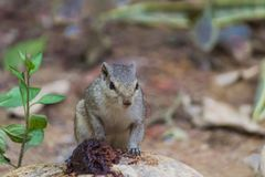 Close up of Small Squirrel Looking For Food On The Ground. Close up of Small Cute Squirrel Looking For Food On The Ground royalty free stock photography