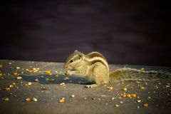 Close up of Small Squirrel Looking For Food On The Ground. Close up of Small Cute Squirrel Looking For Food On The Ground, eating nuts royalty free stock photos