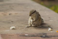 Close up of Small Squirrel Looking For Food On The Ground. Close up of Small Cute little Squirrel Looking For Food On The Ground royalty free stock photography