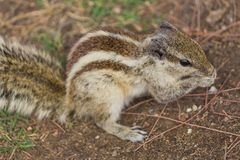 Close up of Small Squirrel Looking For Food On The Ground. Close up of Cute Little Small Squirrel Looking For Food On The Ground stock image