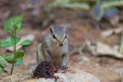 Close up of Small Squirrel Looking For Food On The Ground. Close up of Cute Small Squirrel Looking For Food On The Ground stock photos